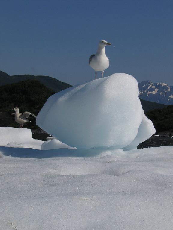 Bird on iceberg in Shoup Glacier bay Valdez Alaska