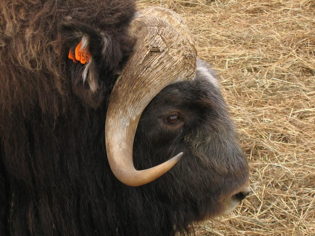 Musk Ox in Fairbanks, Alaska
