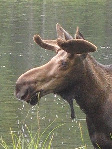 Moose profile in Denali National Park, Alaska