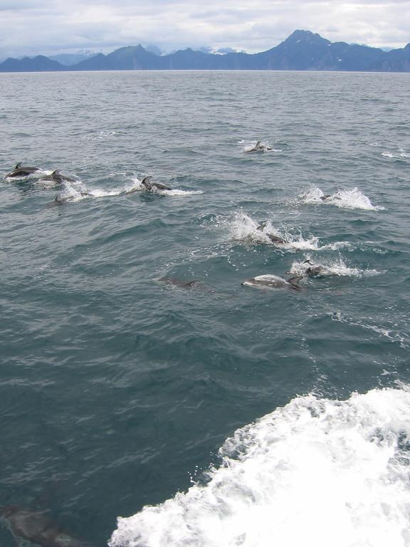 White bellied dolphins in Kenai Fjords, Alaska