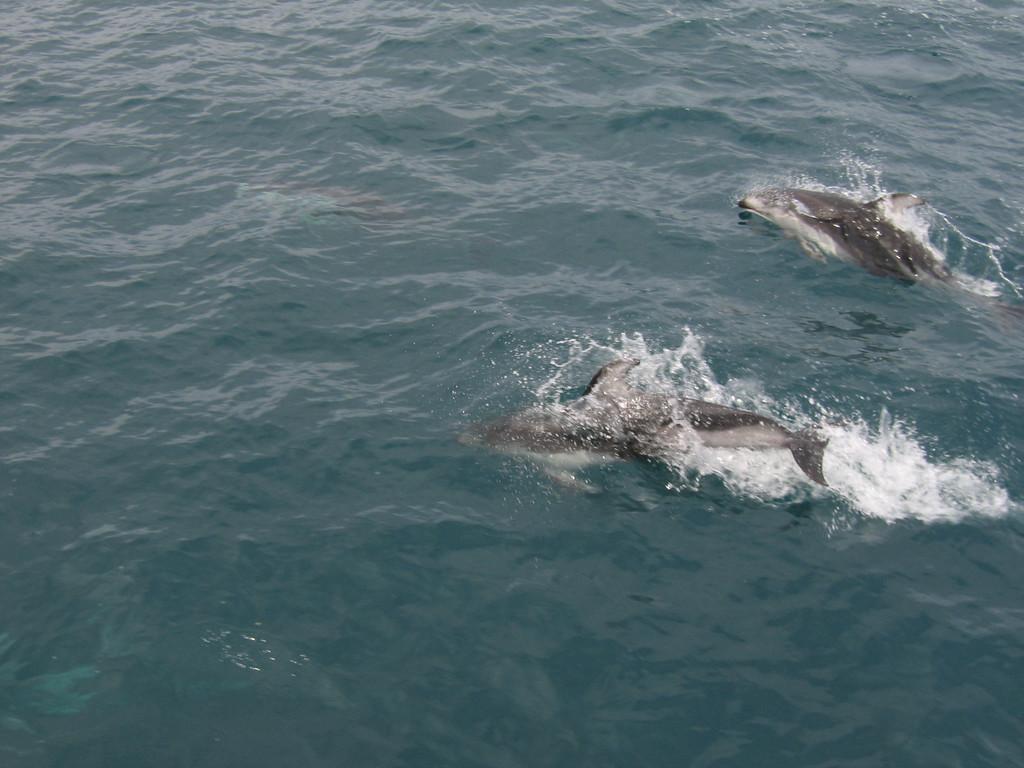 2 White bellied dolphins in Kenai Fjords, Alaska