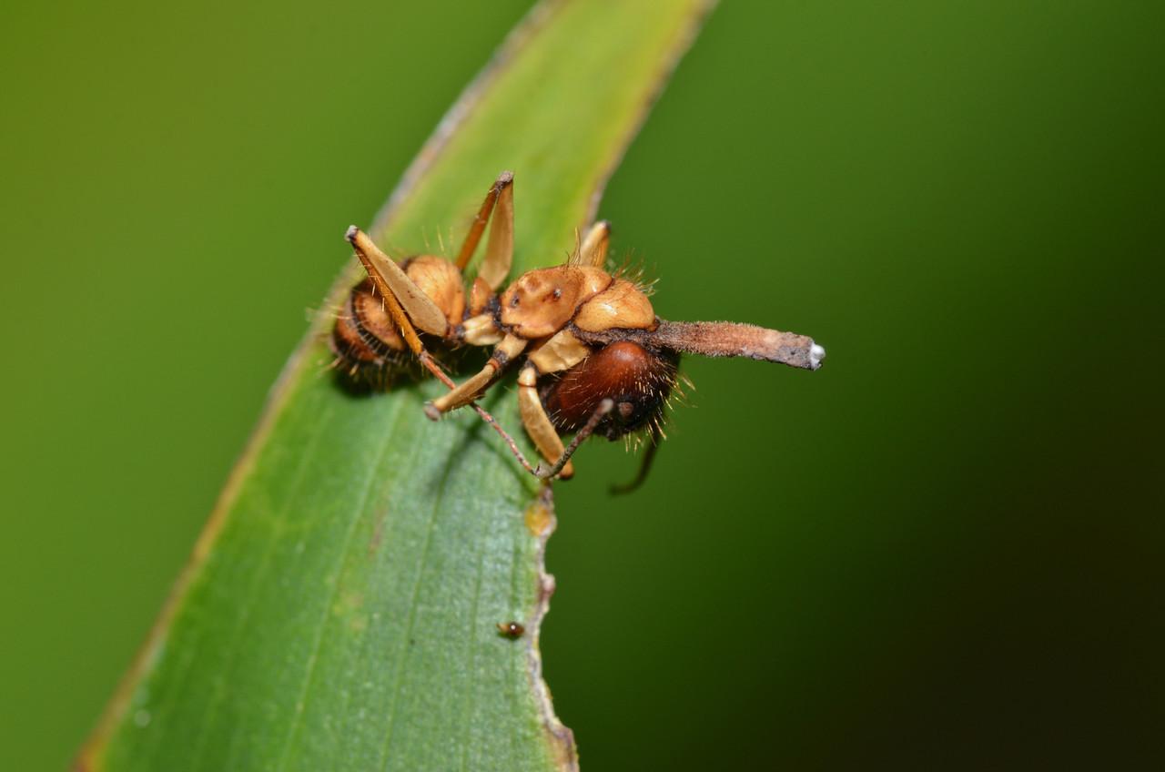 Hymenoptera Formicidae