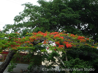 The branches and leaves look like a jacaranda, but the flowers are a brilliant red rather than lilac, so I'm not sure what it is.