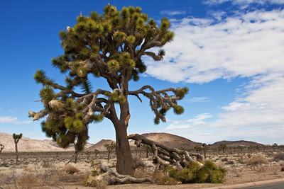 California: Joshua Tree
