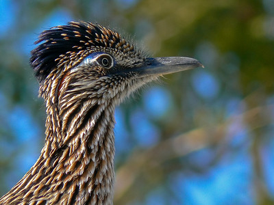 California: Roadrunner