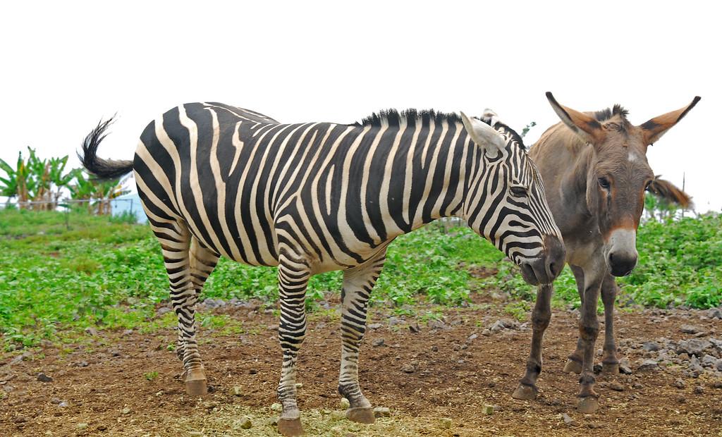 Zebras and Donkeys heading south