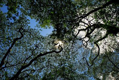 Tall trees in Puna, HI