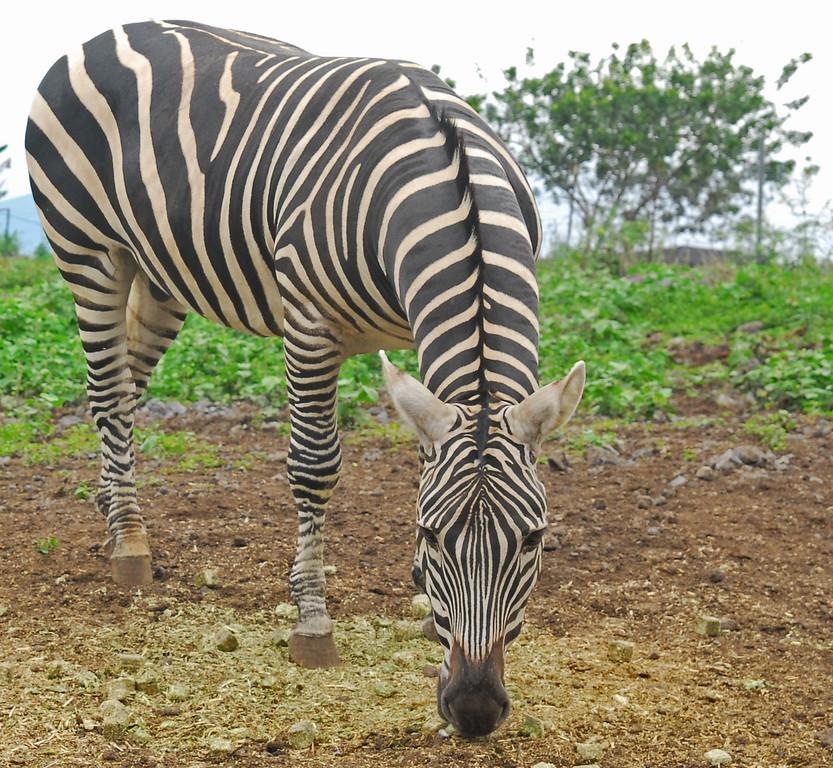 A random zebra on the south point road