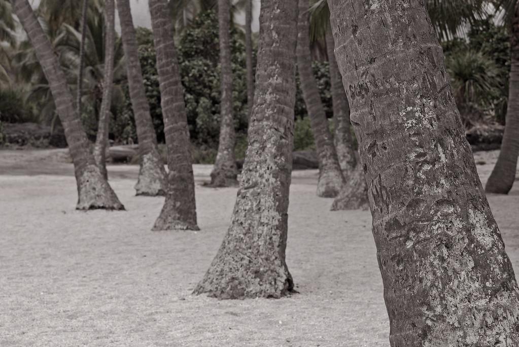 Palm tree trunks at Hiki-au Heiau park.