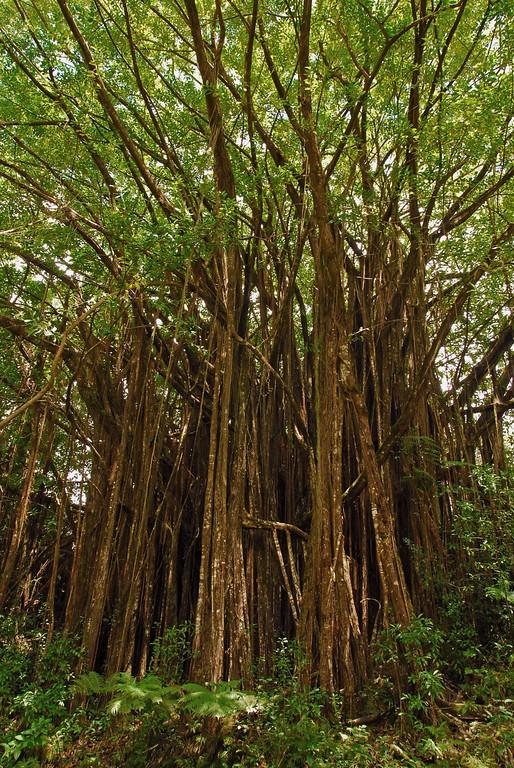 Tree grove near Akaka Falls