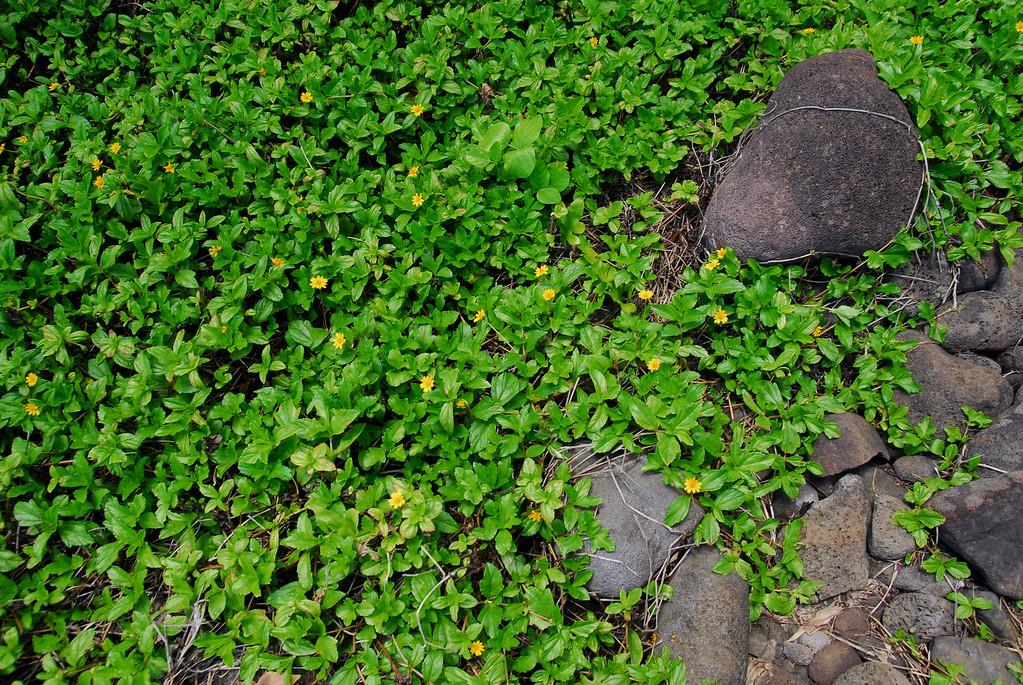 Green lush and lava rocks at Waimanu