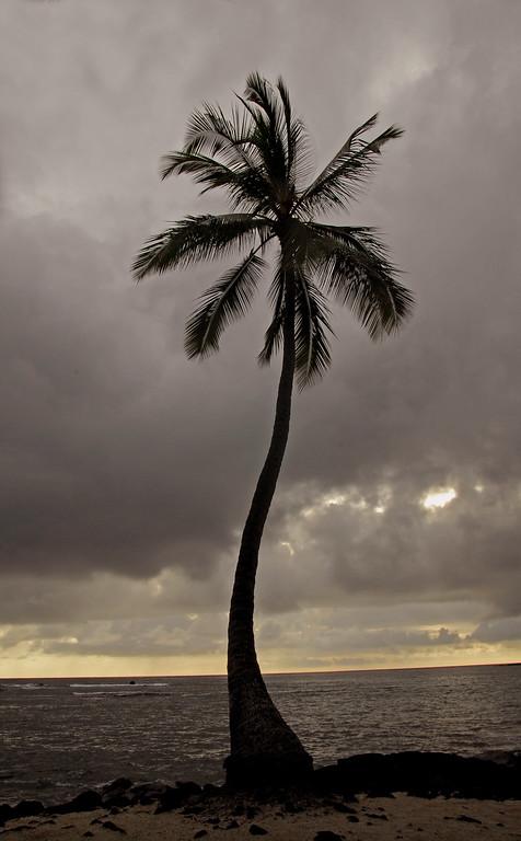 Lone Palm  at Hiki-au Heiau park.