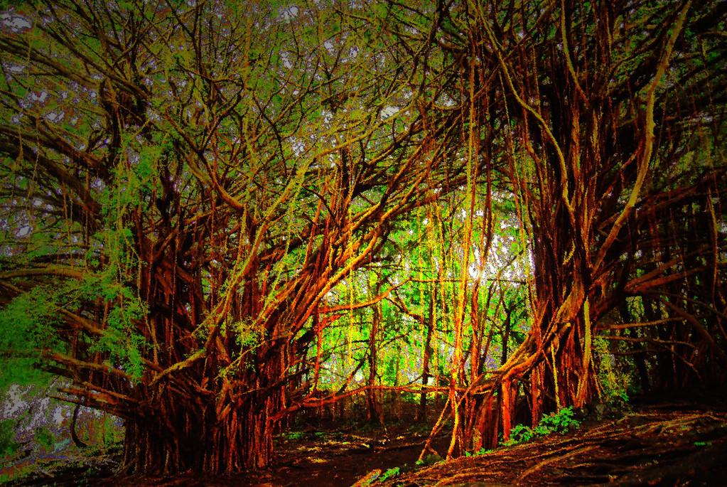 Trees near Rainbow Falls outside of Hilo