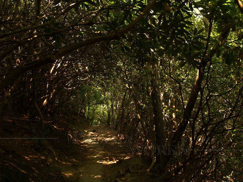 Chimney Rock S.P.-- Rhododendron tunnel