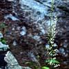 Chimney Rock S.P.-- foamflowers
