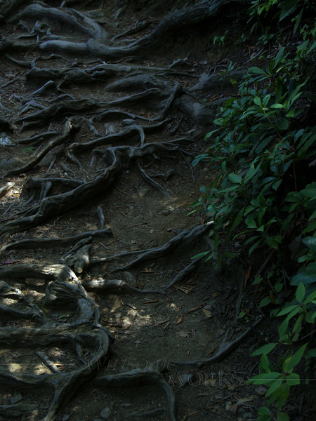 Chimney Rock S.P.-- roots on trail