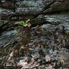 Chimney Rock S.P.- mosses, ferns, etc.