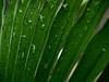 Dwarf palmetto in rain