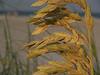 Sea oats close-up