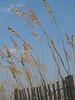 Sea oats (Uniola paniculata) on dunes, Hunting Island