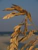 Sea oats; Hunting Island S.P.