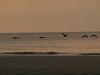 Pelicans in sunrise