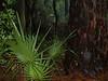 Dwarf palmettos near visitor center