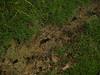 Alligator tracks