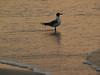 Seagull, sunrise