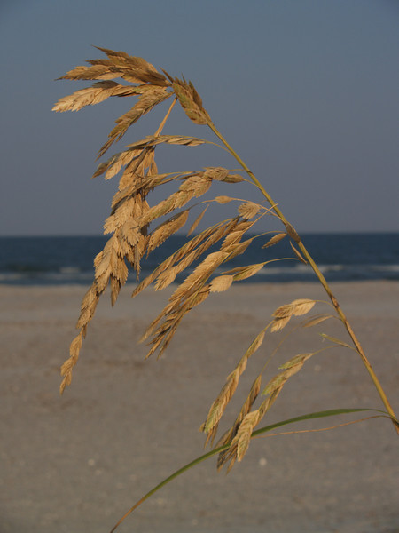 Sea oats at Hunting Island State Park
