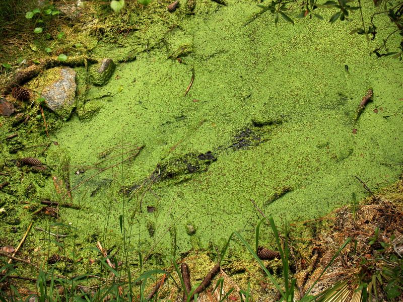 Alligator hiding in bog