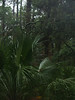 Palmettos in woods