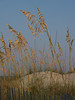 Sea oats on dunes; Hunting Island at dusk