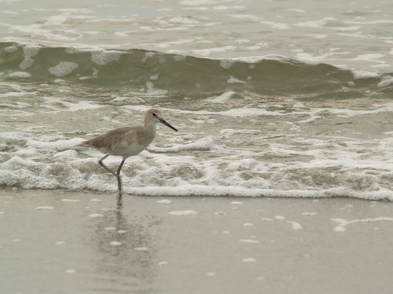 Willet, Hunting Island State Park