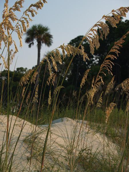 Sea oats, Palmetto