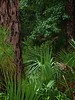 Pine & palmettos near visitor center