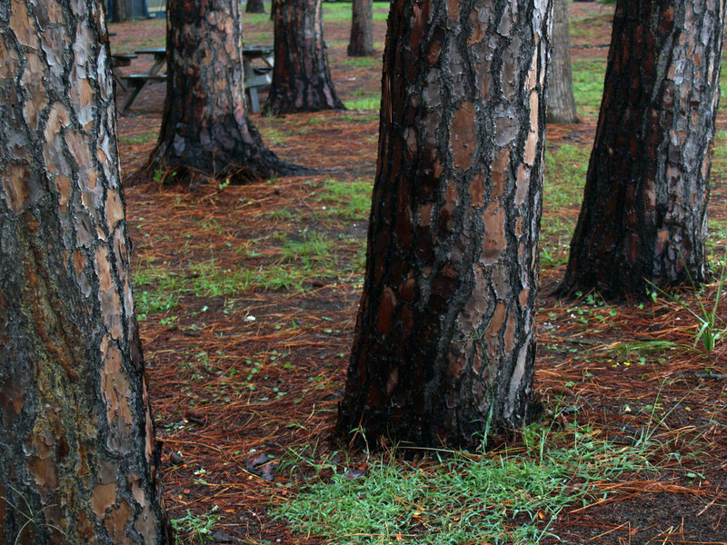 Slash pine trees (Pinus elliottii) in camping area