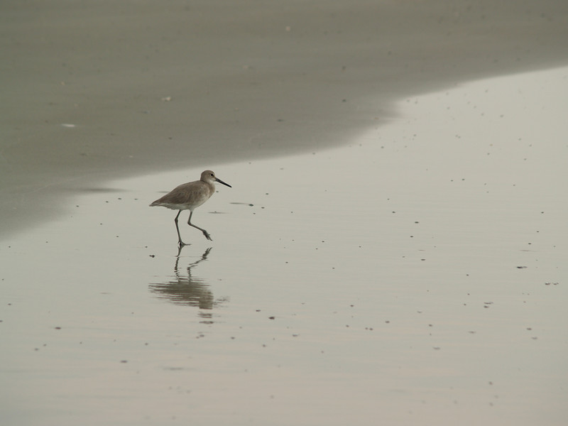 Willet  wading at water's edge