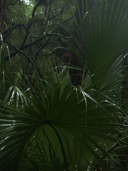 Saw palmettos in woods