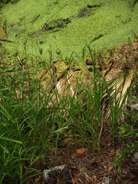 Alligator in pond, Hunting Island