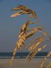 Sea oats, SC