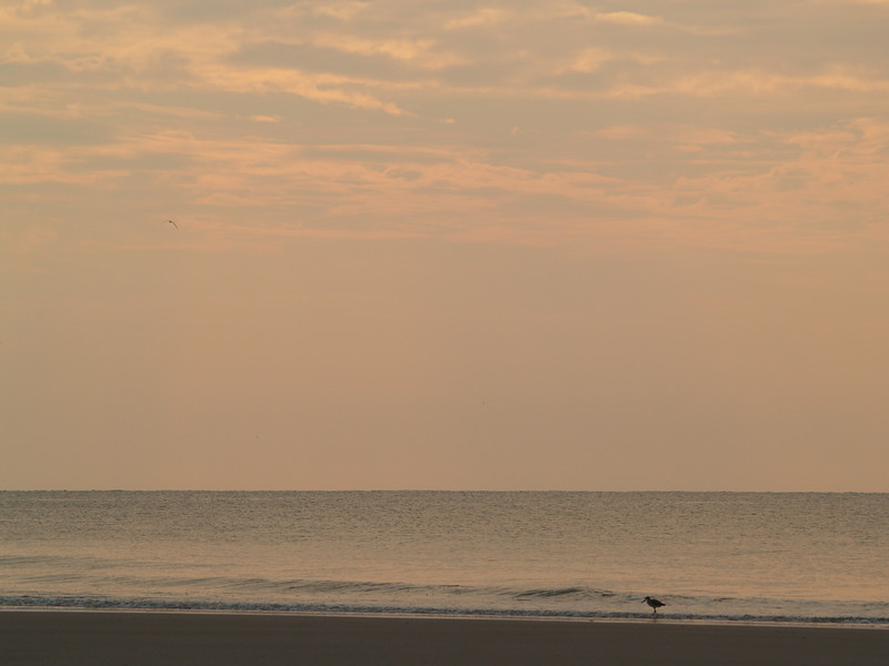 Willet in sunrise, Hunting Island