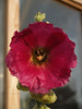 Bumblebee in the hollyhock