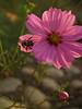 Bumblebee on Cosmos