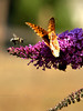 Bumblebee with great Spangled Fritillary (Speyeria cybele) on Butterfly Bush