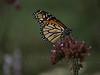 Monarch and Grasshopper