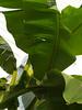 Banana plant, looking up