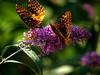 male & female great spangled fritillary (Speyeria cybele) on butterfly bush