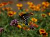 Pipevine Swallowtail (Battus philenor)
