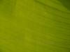 Close-up of Banana plant leaf